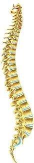 De wervelkolom, centraal onderwerp in Dorn Breuss massages